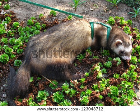Ferret in the garden (Mustela putorius) - stock photo