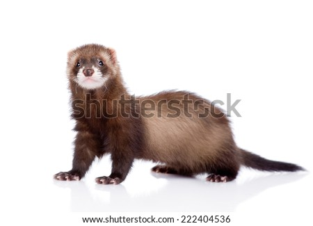 ferret looking at camera. isolated on white background - stock photo