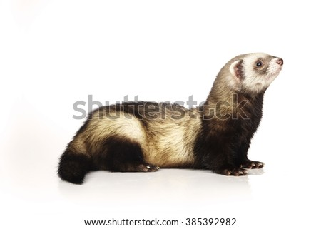 Ferret male on white background in studio
