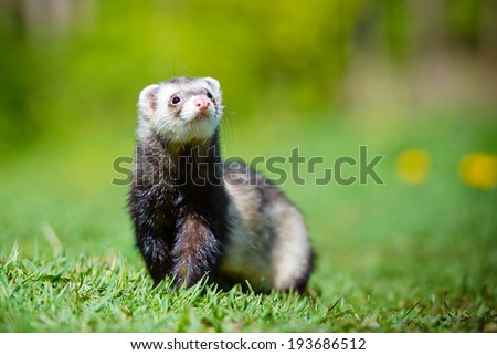 ferret outdoors - stock photo