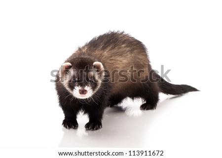 Ferret, polecat on a white background - stock photo