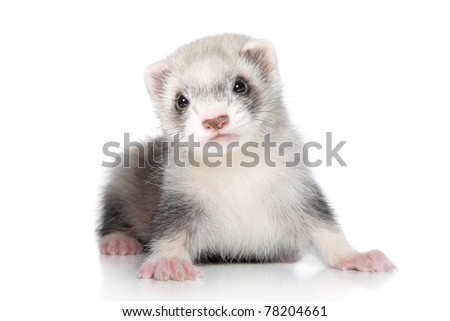 Ferret puppy on a white background - stock photo