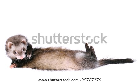 Ferret Rolling Over
