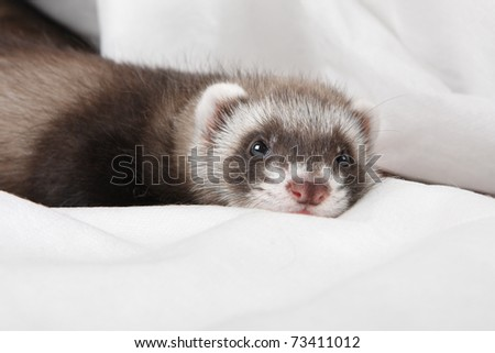 Ferret sleep
