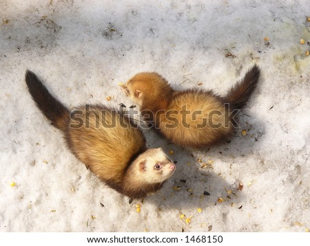 Ferrets - stock photo
