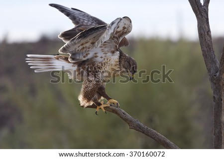 Ferruginous hawk balances with wings partially open on tree limb in Arizona.  Location is Tucson at Free Flight demonstration of Arizona Sonora Desert Museum.   - stock photo