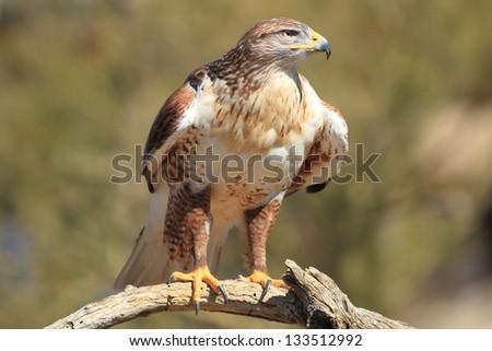 ferruginous hawk (Buteo regalis) in its native habitat - stock photo
