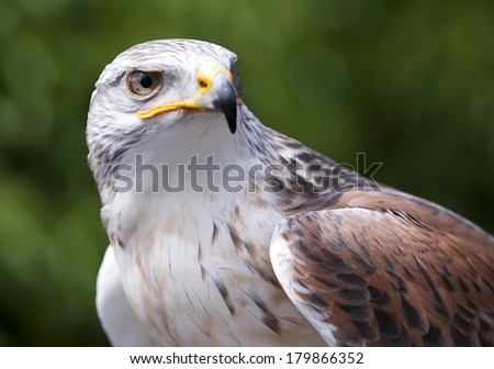 Ferruginous Hawk closeup of upper body and head looking out of the camera with mouth closed - stock photo