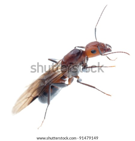 fertile ant - stock photo