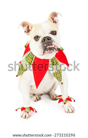 Festive Bulldog dressed as a jester while looking into the camera with its tongue hanging out of the side of its mouth.