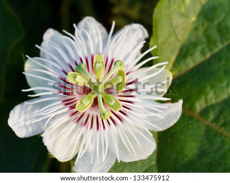 Fetid passionflower - stock photo