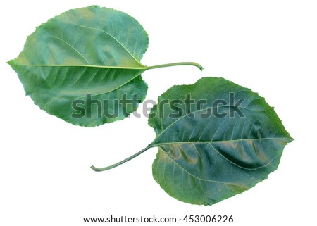 Fetid passionflower, Scarlet Fruit passionflower, Stinking Passion Flower (Passiflora foetida L.),(PASSIFLORACEAE) with medicinal properties and the treatment of acne (Leaves).Passiflora foetida - stock photo