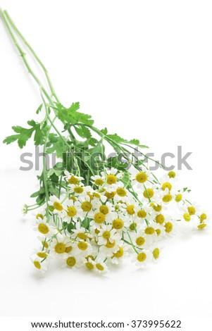 Feverfew flowers on white background - stock photo