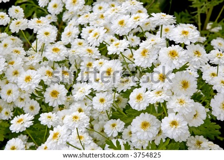 Feverfew or a herb also know as matricaria that is used as a home remedy for headaches.