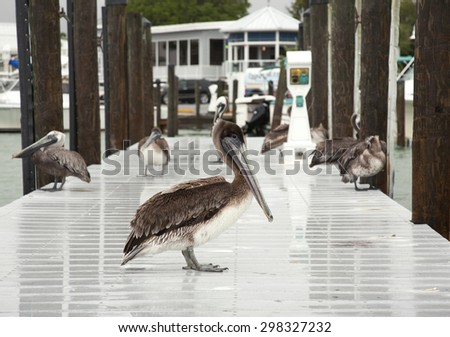 Few brown pelicans . Florida, Venice, Sarasota, South Jetty, Gulf of Mexico - stock photo