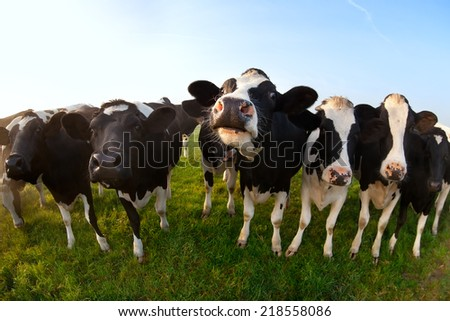 few cute cows on green pasture close up - stock photo