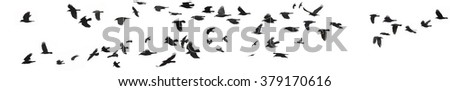 few dozens of black crows and jackdaws on white separated composed herd  - stock photo