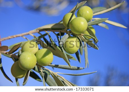 Few green olives in a tree branch - stock photo