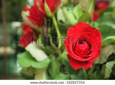 few roses - stock photo