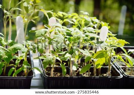 Few Tomato seedlings, organic gardening. Selective focus. - stock photo