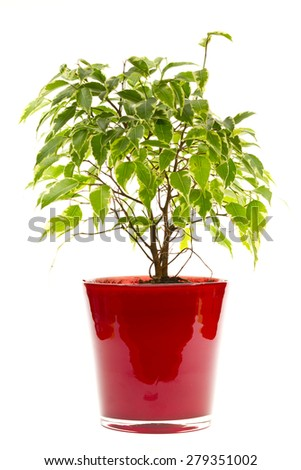 Ficus Benjamin - stock photo