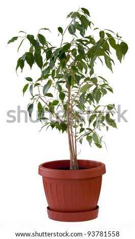 Ficus Benjamin in a brown flowerpot. Isolated. - stock photo