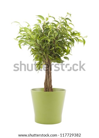 Ficus Benjamin in green pot with clipping path - stock photo
