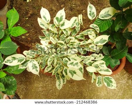 Ficus Benjamina Variegata - stock photo
