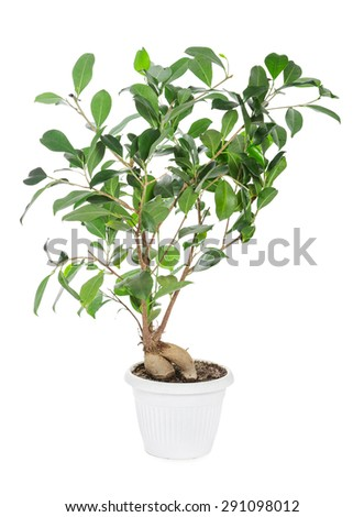 Ficus ginseng in pot isolated on white background - stock photo