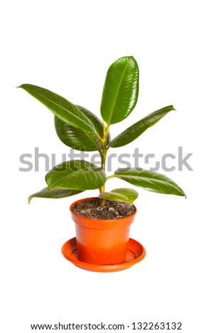 Ficus in a pot