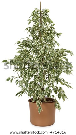 Ficus In A Pot - isolated on white - stock photo