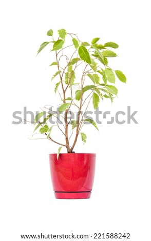 ficus in flowerpot, isolated on white - stock photo
