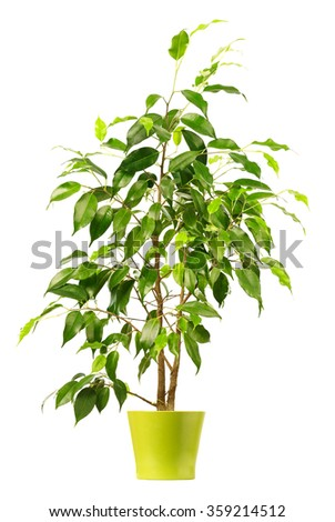 Ficus in flowerpot isolated on white background. - stock photo