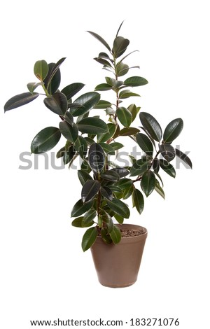 Ficus Melany in flower pot. Plant in a pot. Isolated on white background. - stock photo