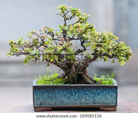 Ficus microcarpa - stock photo