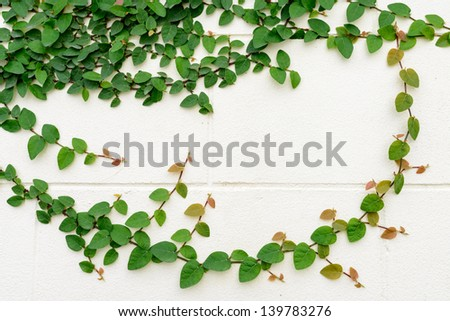 Ficus pumila climbing on creamy wall - stock photo