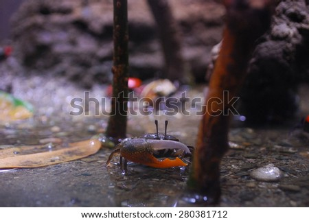 Fiddler Crab - stock photo