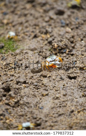 Fiddler crab-Uca vocans, Okinawa Prefecture/Japan, 2013/6/18.  - stock photo