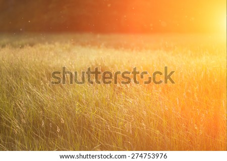 Field at sunset, sunset on meadow. Grass in the sunlight background. Summer, autumn, fall season landscape. Summertime, autumntine sun scene. Backlit. - stock photo