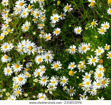 field camomiles on a green grass - stock photo