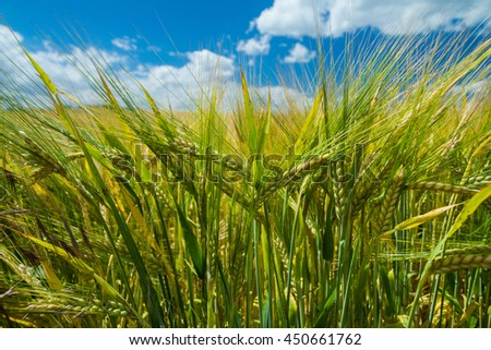 field cereal wheat barley rye oats - stock photo