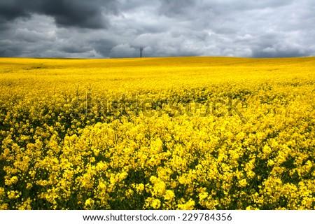 Field covered in bright colza in dark weather.  - stock photo