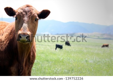 Field Cow - stock photo
