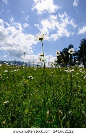 Field daisies - stock photo