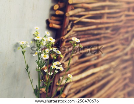 Field daisies on the wicker fence background in summer day, rural scene - stock photo