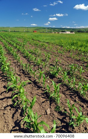 Field for growing corn in the purpose of making ethanol - stock photo