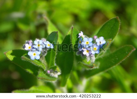 Field Forget-Me-Not  Myosotis Arvensis tiny blue wild Flower - stock photo