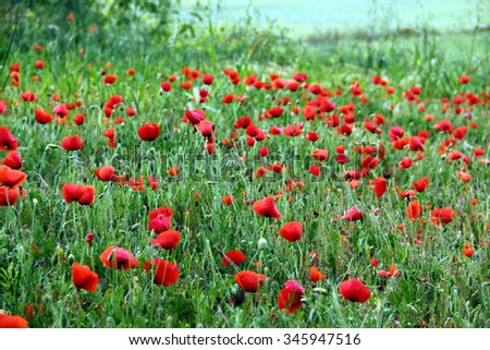 Field full of blooming red poppies, landscape, green and red background - stock photo