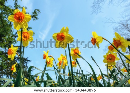 field full with paper yellow trumpet daffodils in spring - stock photo