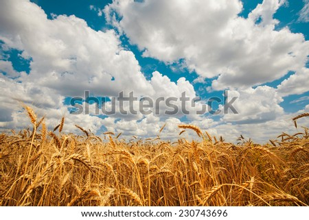 field golden ripe wheat on a background of blue sky with clouds - stock photo